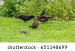 A Shot Of A Male Blackbird...