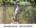 sitting meerkat | Shutterstock . vector #651161854