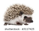 Stock photo four toed hedgehog atelerix albiventris weeks old in front of white background 65117425