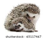four toed hedgehogs  atelerix...   Shutterstock . vector #65117467
