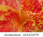 Red And Yellow Canna Flower...