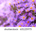 Magenta Asters Flowerbed....