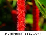 cat tail tree  acalypha... | Shutterstock . vector #651267949