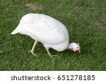 Small photo of guineafowl, guineahen (Agelastes meleagrides)