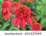 Blooming Red Coneflower...