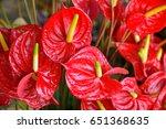 Anthurium Or Flamingo Flowers...