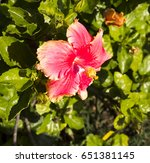 carmine  pink suffused with...   Shutterstock . vector #651381145