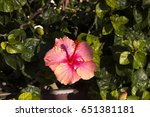carmine  pink suffused with...   Shutterstock . vector #651381181