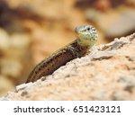 wall lizard  close up with... | Shutterstock . vector #651423121
