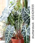 Small photo of Alocasia sanderiana. Houseplant.