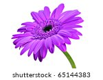 one purple daisy gerbera on a...