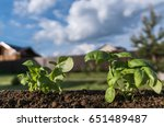 growing basil sprout on a soil  ... | Shutterstock . vector #651489487