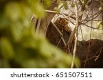 indian leopard in the nature...   Shutterstock . vector #651507511