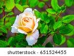 Stock photo rose flower close up 651524455