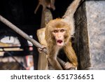 Scary Rhesus Macaque Monkey At...