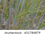 spikelets of wheat in a field | Shutterstock . vector #651784879