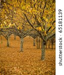 Orchards lose their leaves in a spectacular display of autumn colours - stock photo