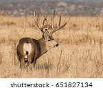 Small photo of Mule Deer Buck