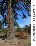 Small photo of Araucaria, Monkey Puzzle Trees, forest near lake Alumine, Patagonia Argentina