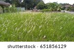 Small photo of Alang-alang, Blady grass white flower