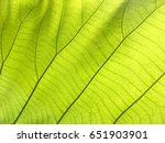 close up green teak leaf with... | Shutterstock . vector #651903901