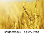 ears of wheat | Shutterstock . vector #651927955