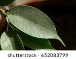 Small photo of Dust accumulated over a day on a ficus leaf