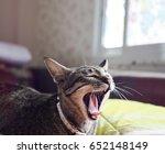 Thai Cat With Sleepy Yawn