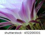 cactus flower  echinopsis... | Shutterstock . vector #652200331