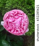 Small photo of Peony bush, Peonies or Paeonia