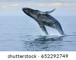 Small photo of Breaching Hump Back Whale off the coast of Honolulu. Hawaii.