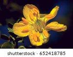 The Yellow Flower Of Arizona's...
