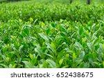fresh green tea farm | Shutterstock . vector #652438675