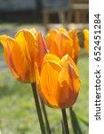 beautiful orange tulips. sunny... | Shutterstock . vector #652451284