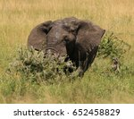 Small photo of All ears - elephant