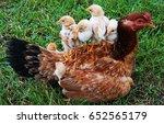 hen  | Shutterstock . vector #652565179