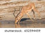 impala ram drinking water from...   Shutterstock . vector #652594459