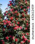 japanese camellia  camellia... | Shutterstock . vector #652612459