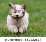 Coton De Tulear Terrier Puppy...