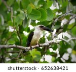 Black Billed Kingfisher  Great...