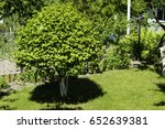 Small photo of calina tree in a garden