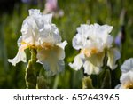 white irises on a green... | Shutterstock . vector #652643965