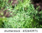 young green dill  growing of... | Shutterstock . vector #652643971