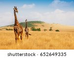masai giraffes walking in the... | Shutterstock . vector #652649335