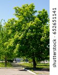 Small photo of Blossoming chestnut tree (Aesculus hippocastanum) in park