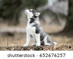 Stock photo portrait cute puppy of siberian husky sitting on the grass in autumn 652676257