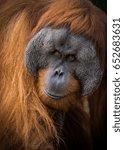A Male Sumatran Orangutan At...