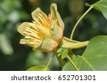 isolated flower of tulip tree   ... | Shutterstock . vector #652701301