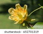 Isolated Flower Of Tulip Tree ...