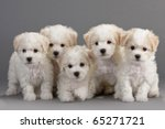 Stock photo bichon frise puppies on a gray background not isolated 65271721